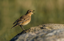 Wheatear / Tapuit (first winter)