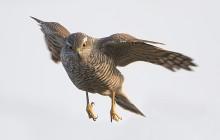 Sperwer / Sparrowhawk
