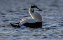 Common Eider / Eidereend