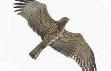 Short-toed Snake Eagle / Slangenarend