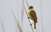 Eurasian reed warbler / Kleine karekie