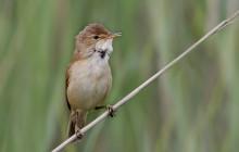 Eurasian reed warbler / Kleine karekiet