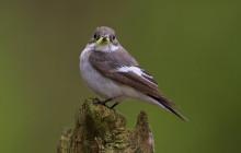 European Pied Flycatcher / Bonte Vliegenvanger male