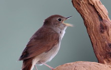 Nightingale / Nachtegaal