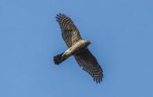 Sparrowhawk / Sperwer vrouw