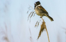 Common Reed Bunting / Rietgors1i
