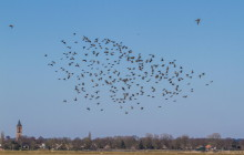 Common starling / Spreeuw & Black-tailed Godwit / Grutto