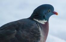 Wood pigeon / Houtduif