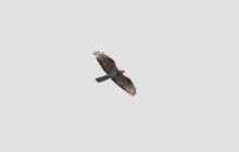 Honeybuzzard / Wespendief