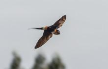 Red-rumped Swallow / Roodstuit zwaluw