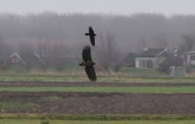 White-tailed eagle and Raven / Zeearend en raaf in Eempolder