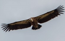 Griffon vulture - Vale Gier