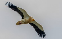 Egyptian Vulture / Aasgier adult
