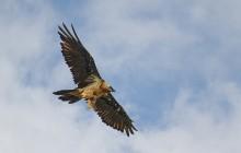 Bearded Vulture / Lammergeier - Lammergier