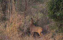 Blue bull antilope