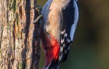 Great Spotted Woodpecker / Gote Bonte Spechtr / G