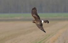Hen Harrier / Blauwe Kiekendief vrouw