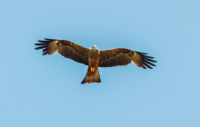 Red Kite / Rode Wouw