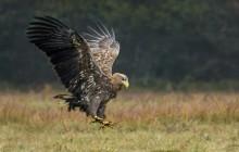 White tailed eagle - Zeearend