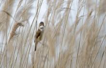 Great reed warbler / Grote Karekiet / Rouserole turboïde