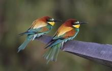 Bee-eaters / Bijeneters / Guêpier d'Europe