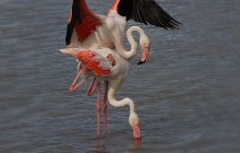Flamingo / Greater Flamingo / Flamant rose