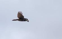 Northern Hawk Owl / Sperweruil