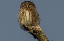 Pygmy Owl / Dwerguil