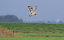 Short eared owl / Velduil