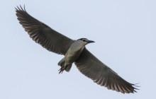 Night heron / Kwak / Bihoreau gris