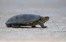 Europese moerasschildpad  (Emys orbicularis)  / Turtle