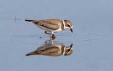 Semipalmated plover- Bontbek plevier