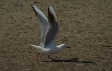 Slender billed gull / Dunbekmeeuw / Goéland railleur