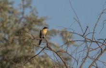 Great spotted cuckoo / Kuifkoekoek / Coucou geai