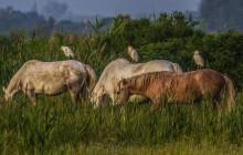 Koereiger / Cattle Egret / Héron gardeboeuf