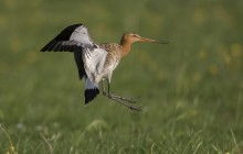 Grutto / Black Tailed Godwit
