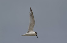 Little Tern / Dwergstern