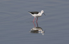 Black Winged Stilt / Stelkluut