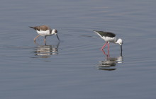 Black Winged Stilt / Steltkluut