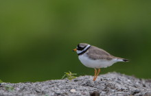 Common ronged plover - Bontbekplevier