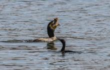 Great and Indian Cormorant /  Aalscholver en Indische dwergaalscholver