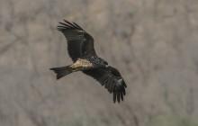Black Kite / Zwarte wouw