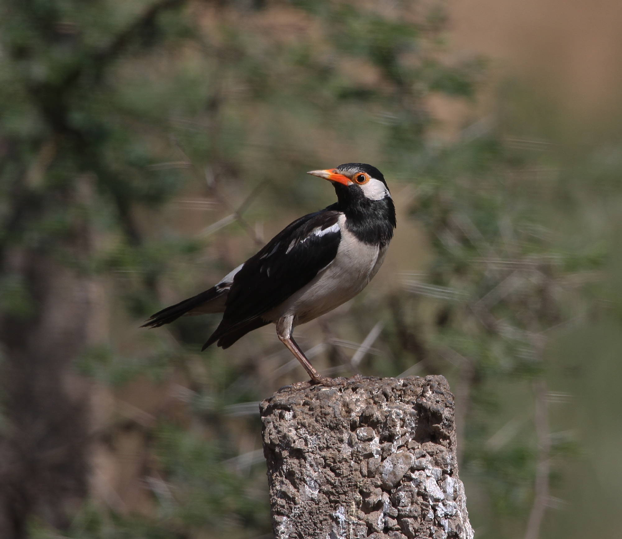 pied starling asian