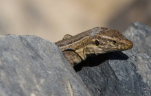 Tenerife lizard / Tenerife hagedis