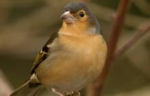 Canarian finch