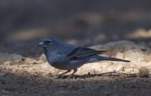 Bluefinch / Blauwe vink