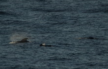 Long finned pilot whale / Indische griend