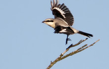 Great Grey Shrike / Klapekster
