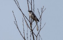 Great Grey Shrike, Klapekster