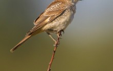 Woodchat Shrike juv